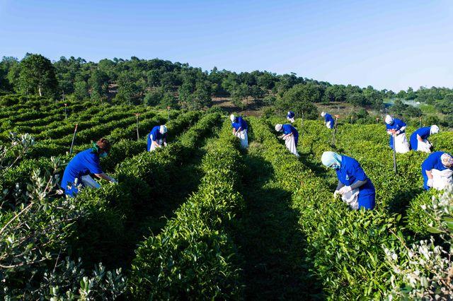 """Doğma Çay """"Azerçay"""" çayçılıq sahəsinin inkişafına dəstək verməyə davam edir"""