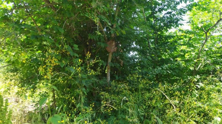Xocavənddə ağaca bağlanmış mina