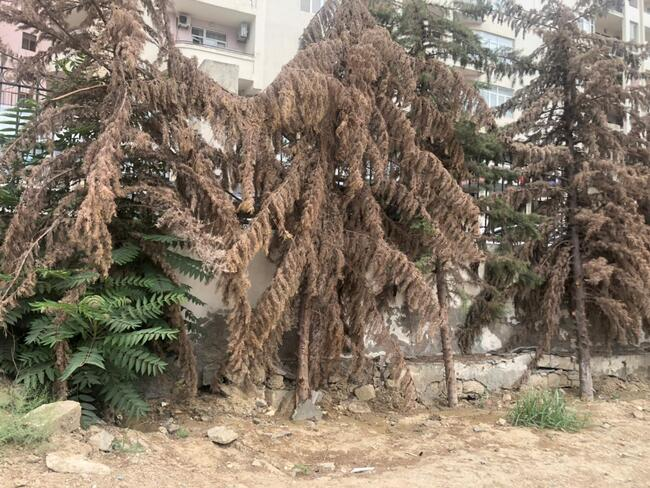 qurumuş ağac